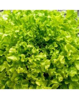 Lechuga Salad Bowl, Hoja De Roble 100 Grs