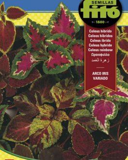 Fitó Flores Coleus Arco Iris Variado