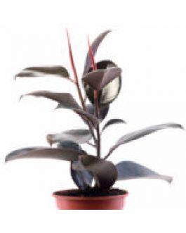 Gomero – Ficus Burgundy