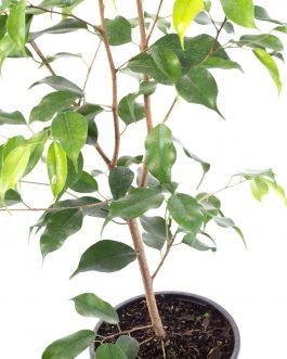 Ficus Benjamina Planta de Interior