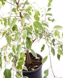 Ficus Variegado Planta de Interior