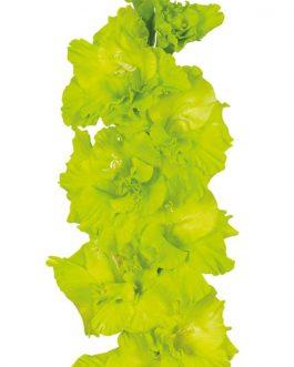 Bulbo de Gladiolo Green Star, Verde Limón