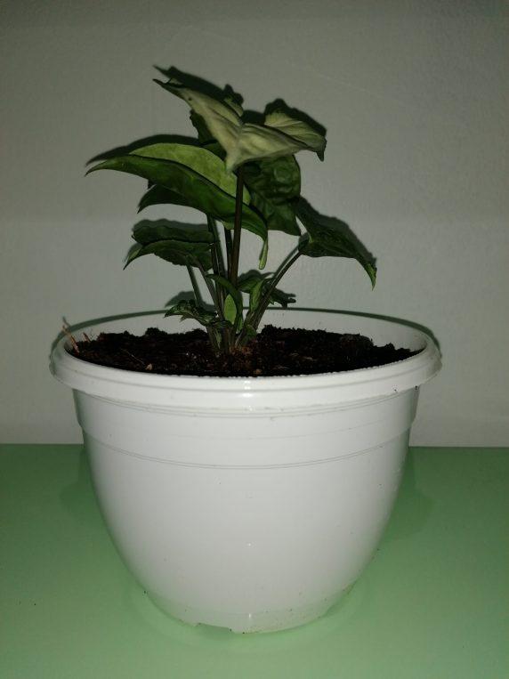 Syngonium Plateado Planta de Interior en Maceta Colgante