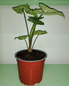 Syngonium Plateado Planta de Interior