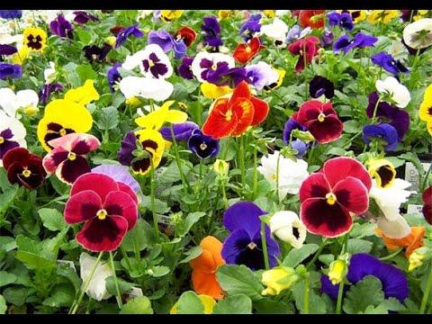 Flor Pensamiento Planta para Exterior de Colores Variados