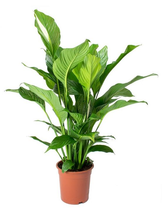 Spathiphyllum Huertos Alma