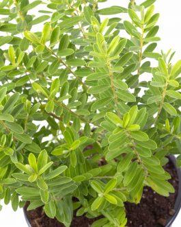 Planta Verónica