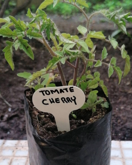 Almácigo de Tomate Cherry