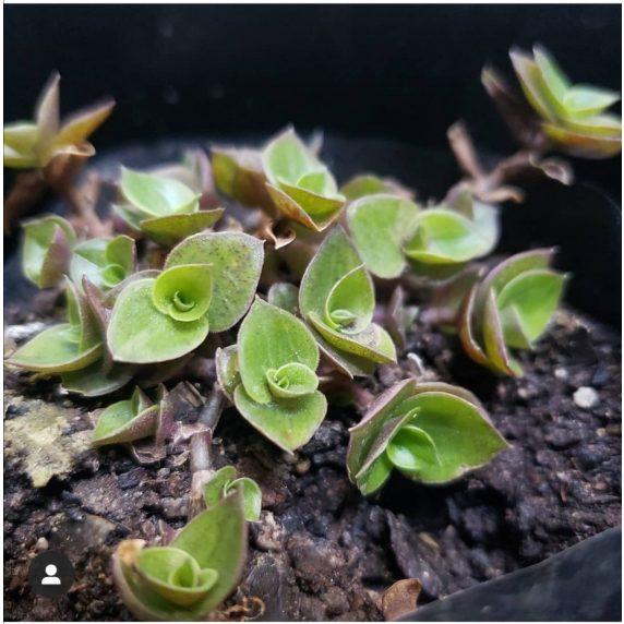 Suculenta Hierba de Pena - Callisia Repens También es conocida por los nombres vulgares de Calisia o Zacate.