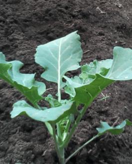 Almácigo de Brócoli Imperial