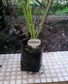 Almácigo de Cebolla