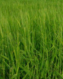 Semillas de Trigo Chagual Sin Certificar 25 Kilos