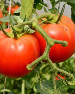 Semillas de Tomate Semi-Determinado Joker F-1 5000 Semillas