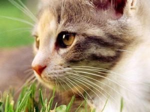 Lee más sobre el artículo Hierba de Gato