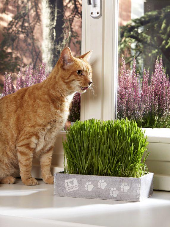 Hierba de gato Huertos Alma Chile
