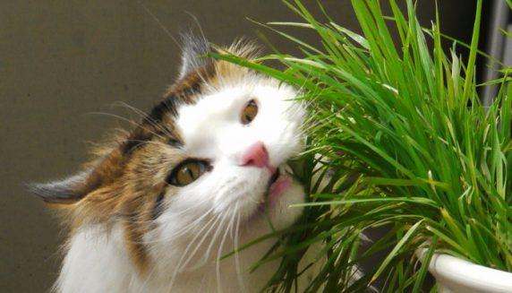 Hierba de gato-Huertos-Alma Chile