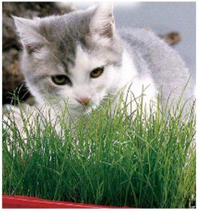 Lee más sobre el artículo Kit de Cultivo de Hierba de Gato