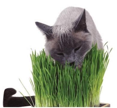 Huertos Alma Hierba de Gato CatNip