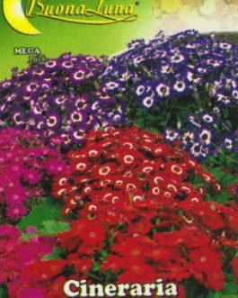 Semillas De Cineraria Híbrida De Grandiflora Mix