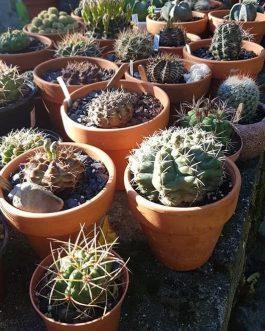 Planta de Cactus a elección 1 unidad