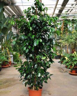 Ficus Benjamina Negro Planta de Interior