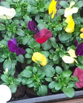 Almácigo de Violas para Exterior de Colores Variados