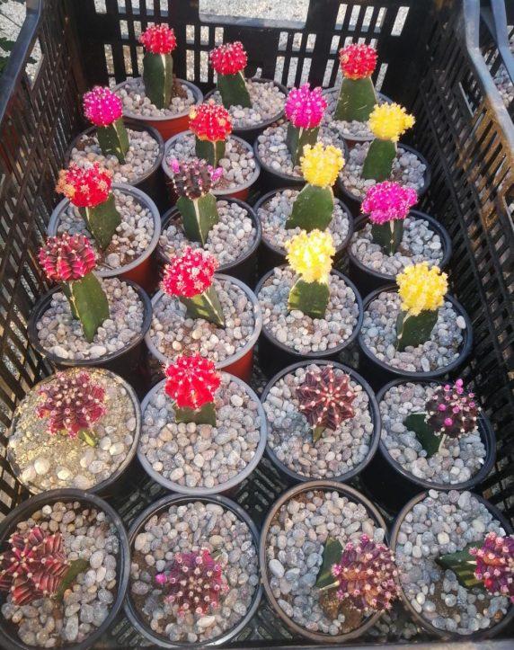 Cactus de Colores Injertados