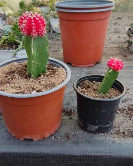 Cactus de Colores Injertados Medianos